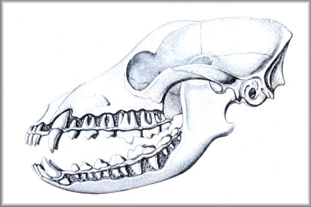 Rottweiler Teeth - Dentition Diagrams | FANTASTIKROT ROTTWEILERS ...