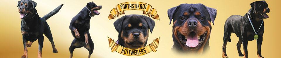Puppies Fantastikrot Rottweilers Perth Western Australia