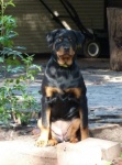 Devil  Rottweilers Perth,Rottie pups Perth, rottweiler puppies image.jpg