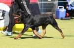 HANNIBAL ON THE MOVE, WEST COAST ROTTIE CLUB SHOW, PERTH IMAGE.jpg
