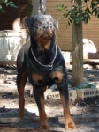 Hannibal  Rottweilers Perth,Rottie pups Perth, rottweiler puppies image.jpg