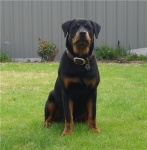 savannah, Rottie Puppies Perth image.jpg