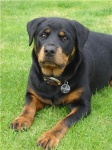 savannah, Rottweiler Dogs Perth image.jpg