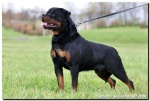Burning Des Princes D\'aragone, rottie breeder perth image.jpg